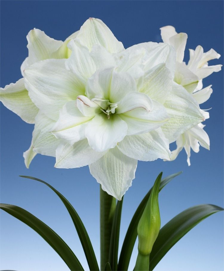 Amaryllis White Nymph Royal Dutch Hybrid Double Amaryllis Amaryllis Fall 2014 Flower Bulbs Bulb Flowers Amaryllis Flowers Beautiful Flowers
