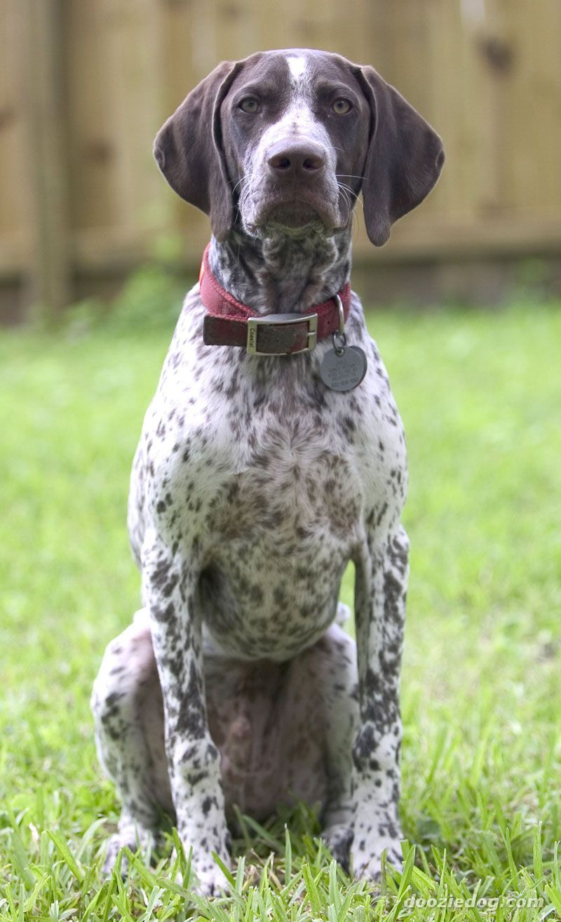 German Shorthaired Pointer Very Protective Over The Yard And House They Don T Listen Ver German Shorthaired Pointer Dog Dog Breeds German Shorthaired Pointer