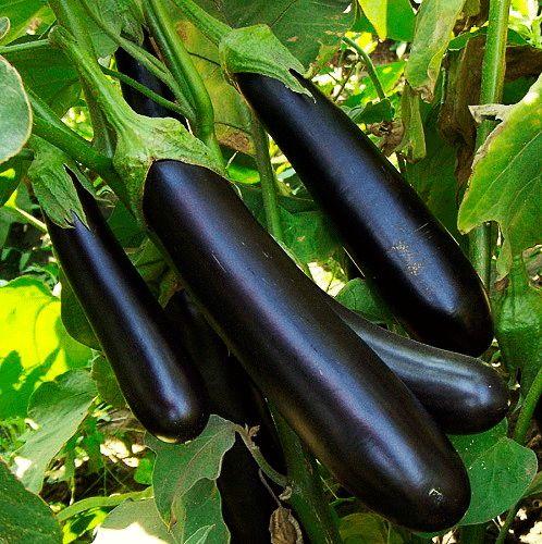 Баклажаны — выращивание и сорта | Выращивание баклажанов ...
