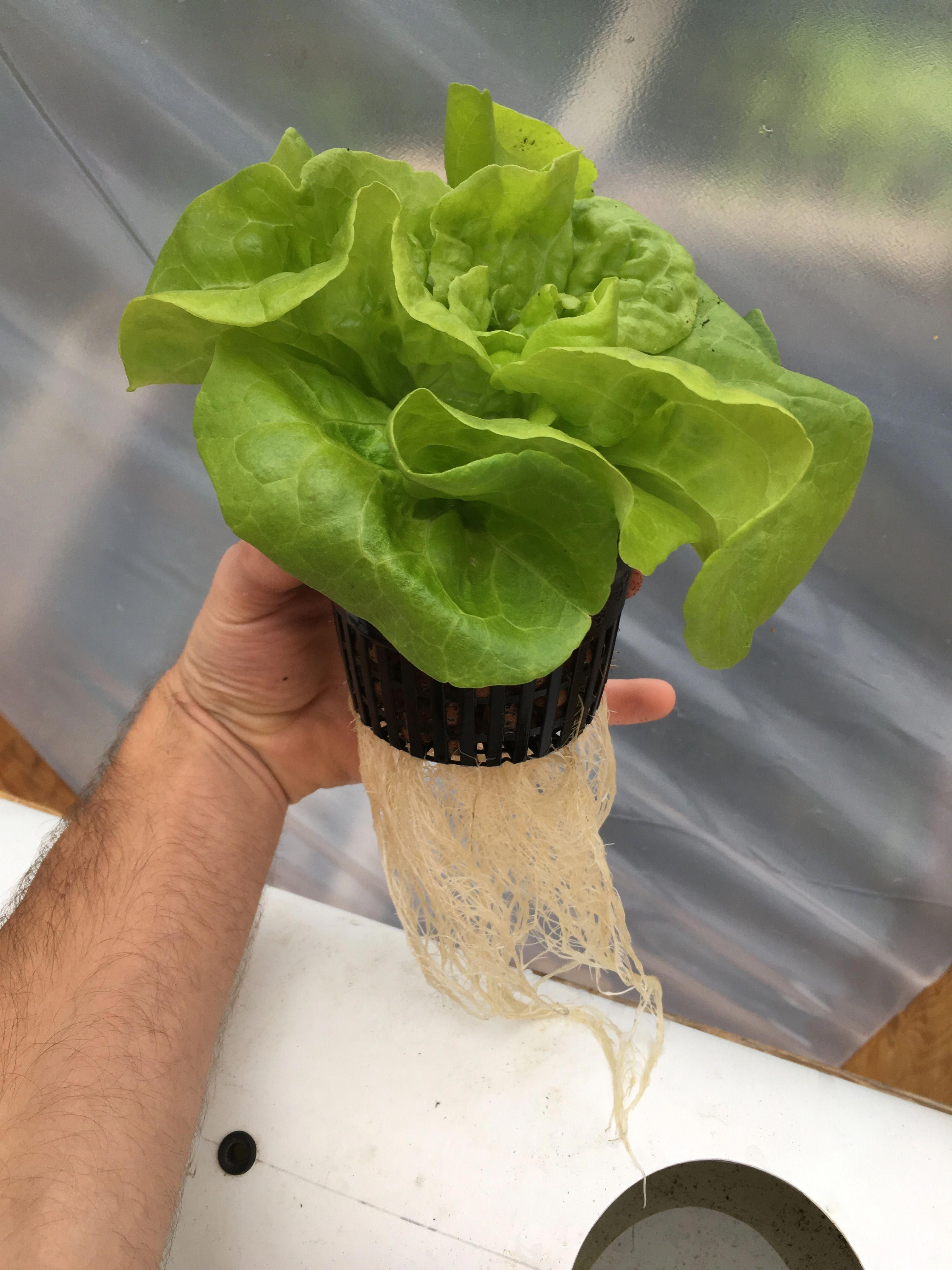 how to grow lettuce indoors hydroponically