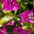Bougainvillea Schneiden Pflege, blüht nicht. Drillingsblume. Bougainvillea - Infos, Schneiden Pflege Pflanzen Bilder Fotos Garten