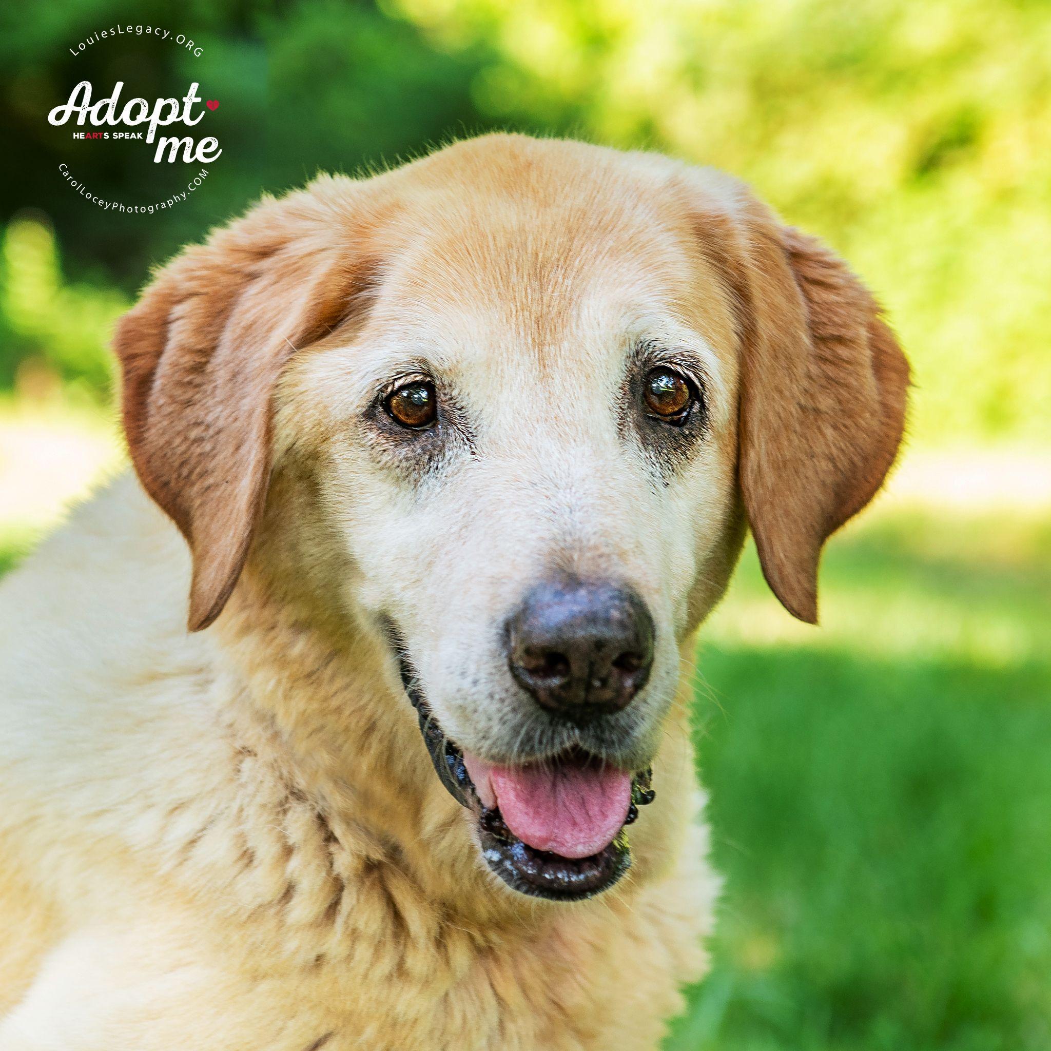 Adopt Helena On Petfinder Golden Retriever Labrador Retriever Animal Rescue