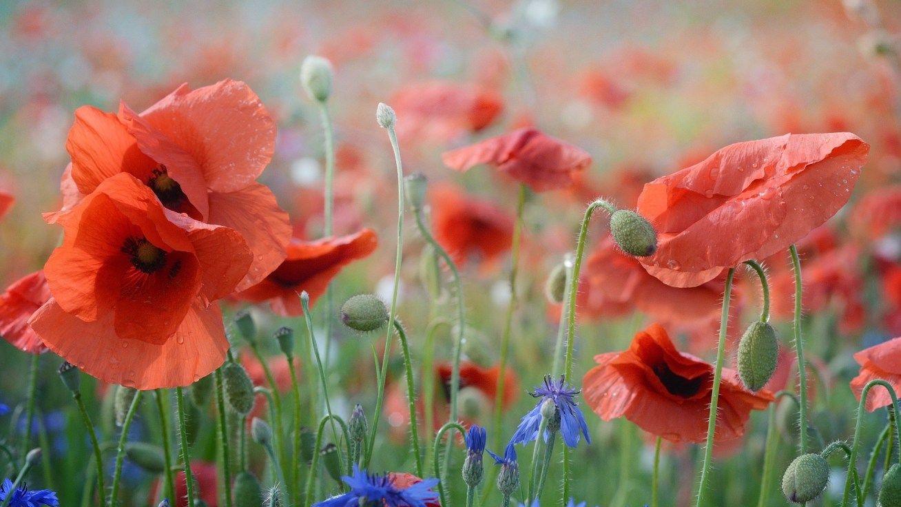 Im Roten Klatschmohnmeer Geschichten Fur Kinder Mohnblume Und Fotos Blumen