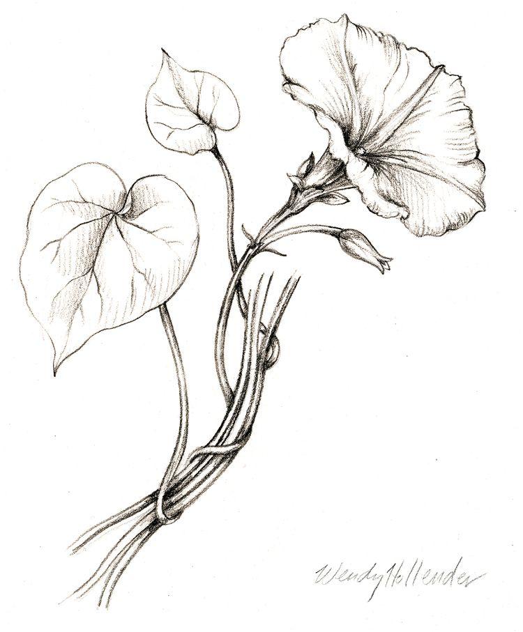 Botanical Flower Line Drawing : Morning glory botanical drawings pinterest tattoo