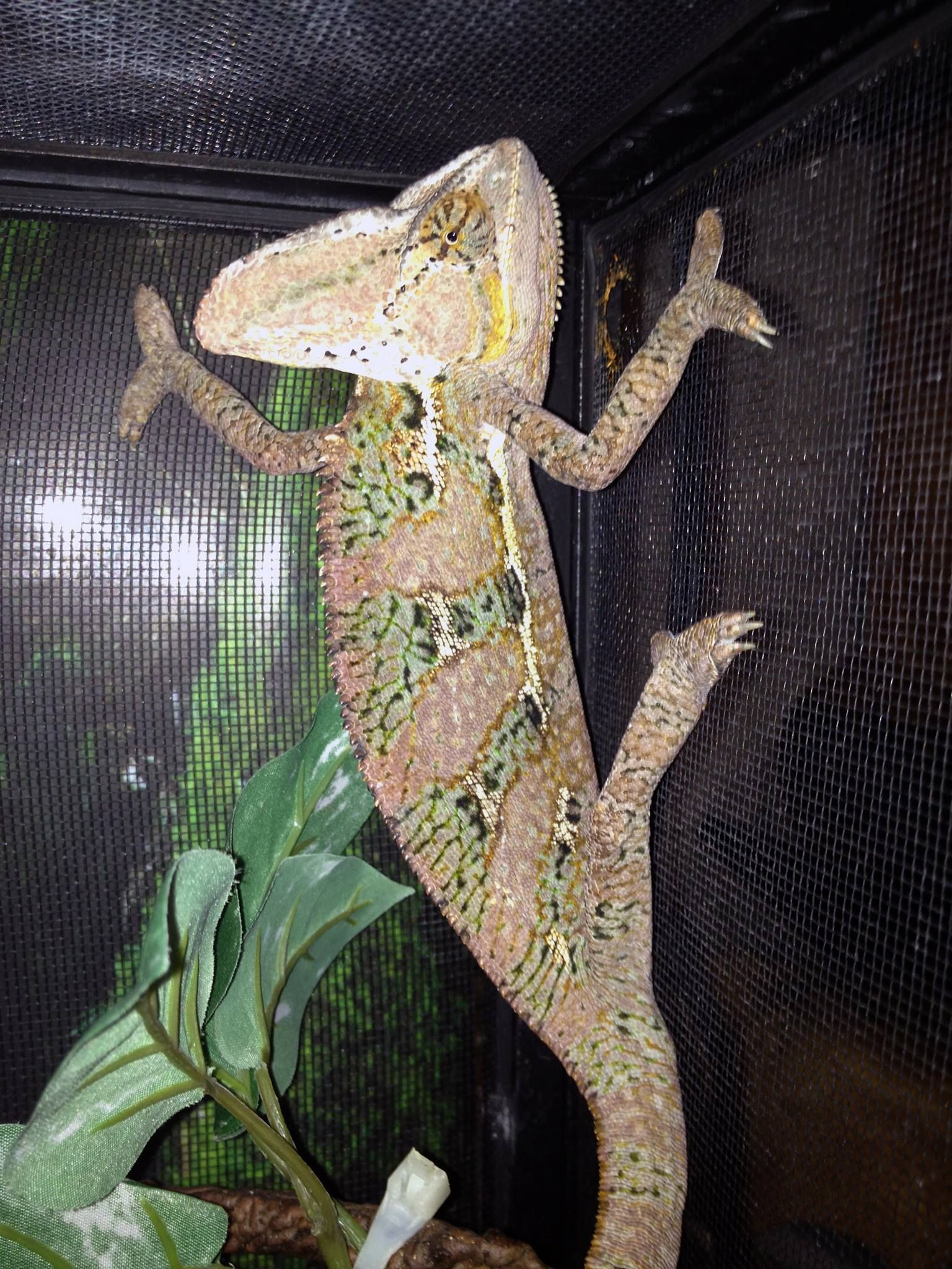 Chameleon Cages Veiled Chameleon Male Cage Setup Included
