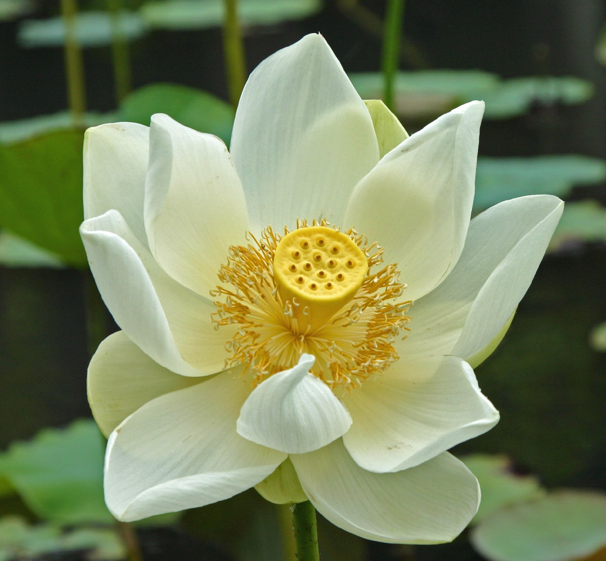 White lotus mauritius jardins plantas frutos e flores the lotus flower or waterlily in full flower is one of the most beautiful plants imaginable when seen covering a large expanse of water with dhlflorist Images