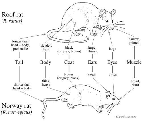 Norway Rat Or Roof Rat Quiz Roof Rats Norway Rat Getting Rid Of Rats