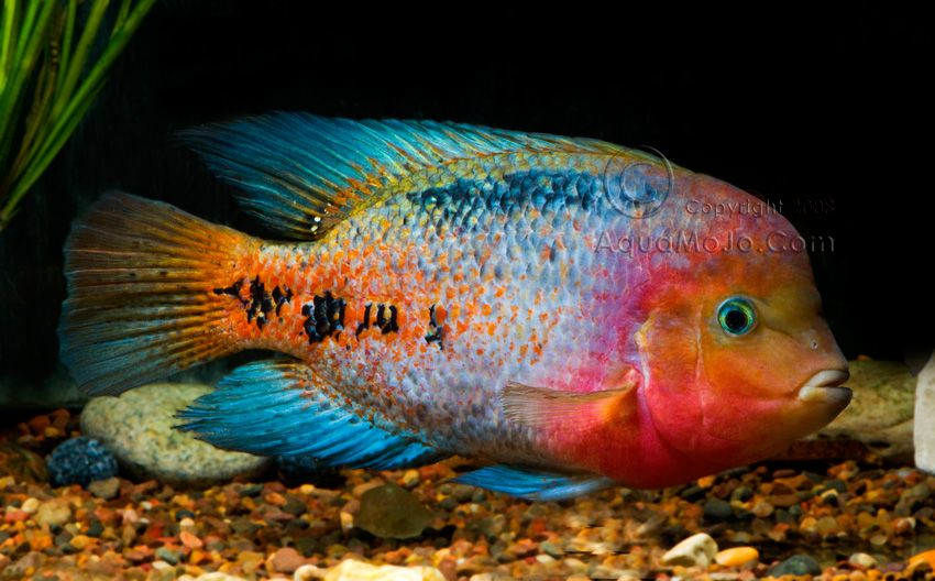 Names Quetzal Cichlid Firehead Cichlid Paratherapscichlasoma