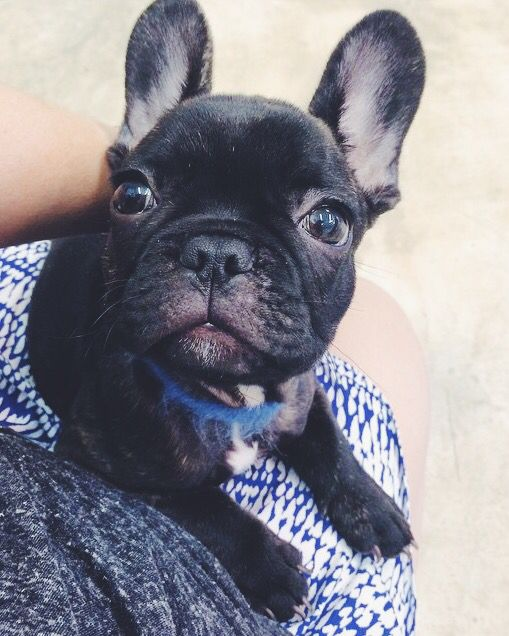 Biscuit The French Bulldog Puppy Cape Town South Africa Animales