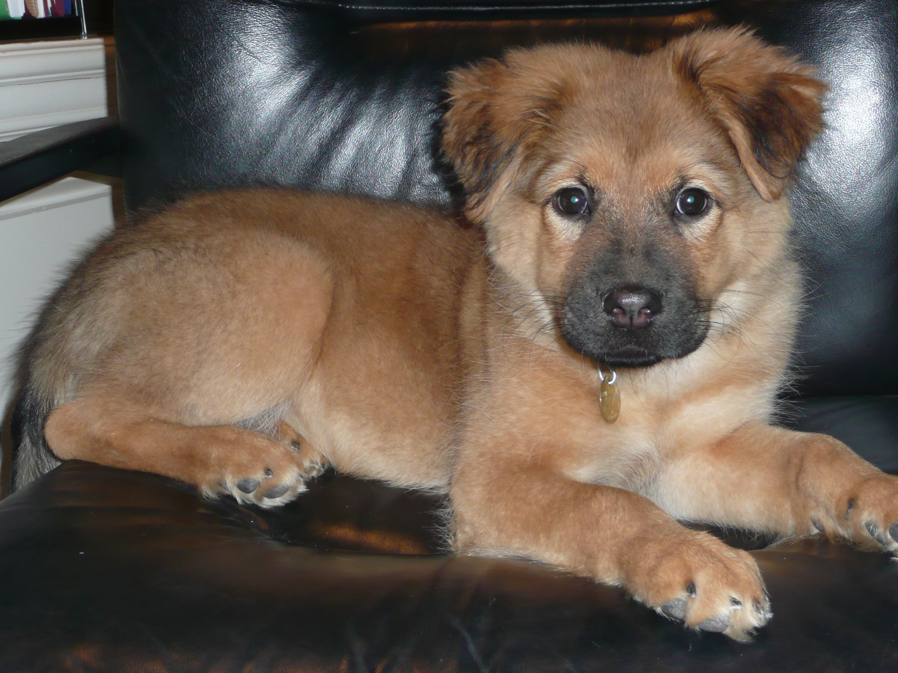 Chow Shepherd German Shepherd Mix German Shepherd Mix Puppies