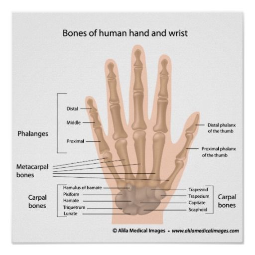 Bones Of The Hand Labeled Diagram Poster Zazzle Com In 2020 Hand Anatomy Human Body Bones Hand Outline