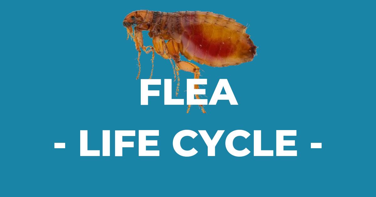 Flea Life Cycle I Love Veterinary Fleas, Life cycles