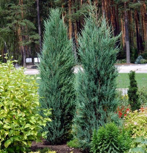 Blue arrow juniper juniper virginiana 39 blue arrow for Very small trees for landscaping