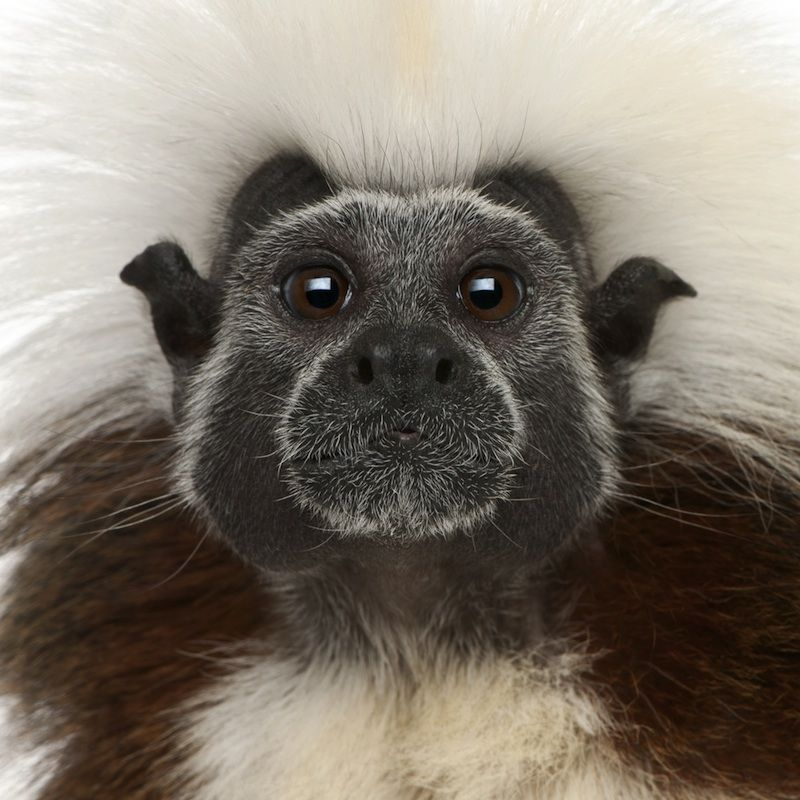 Impressive hairdo! The cottontop tamarin is a native of Colombia and is critically endangered.    The 1,500-individual-strong rhesus macaque colony and the collection of critically endangered cotton-top tamarins will need to be relocated (or potentially euthanized).    Happy that the Voices of Countless Were Heard as Signatures on Petitions, but....    Euthanizing Should NOT BE an OPTION!    They Did Not Volunteer To Be Experimented On & Tortured... Only to then Be Murdered!