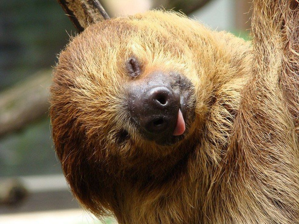 11 reasons you should love sloths with images animals