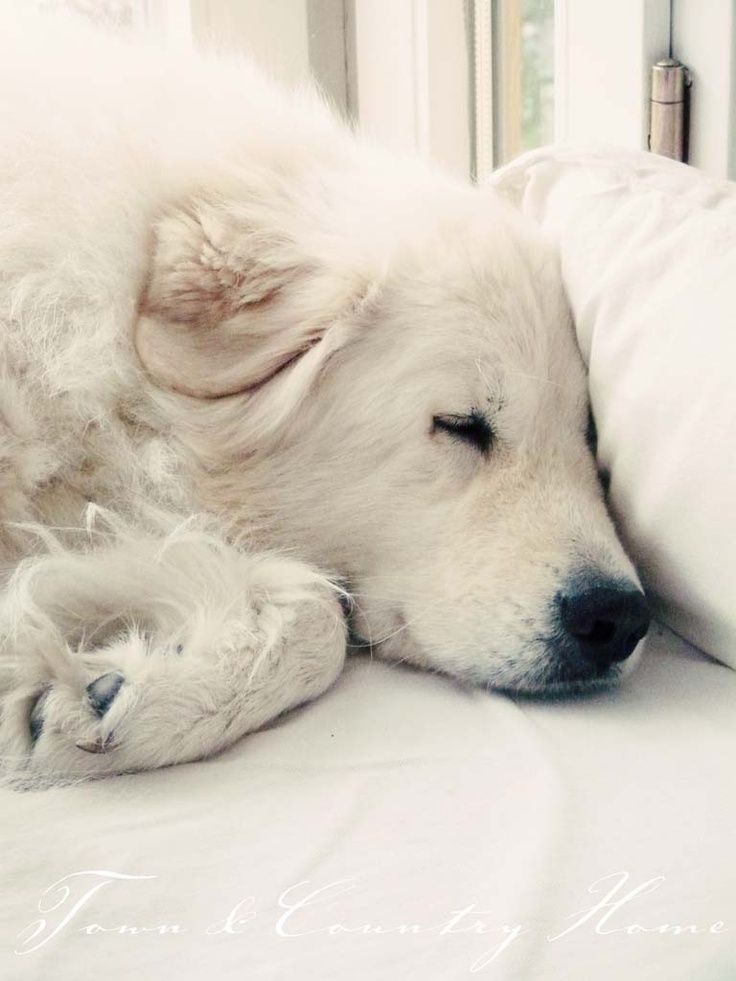 <3 Great Pyrenees