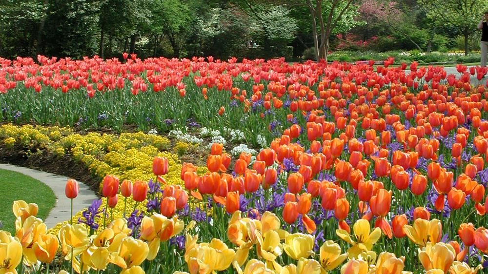 Dallas blooms world class tulip show dallas arboretum texas landscape pinterest dallas for Tulip garden in texas