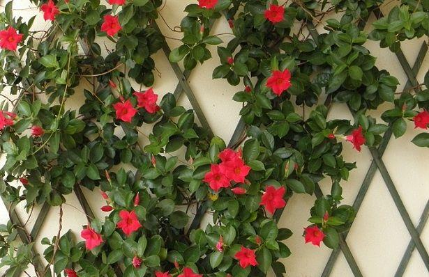 Dipladenia piante coltivazione rimedi naturali for Dipladenia malattie