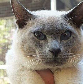 Elsprite Tonkinese Toygers Studs Tonkinese Tonkinese Cat