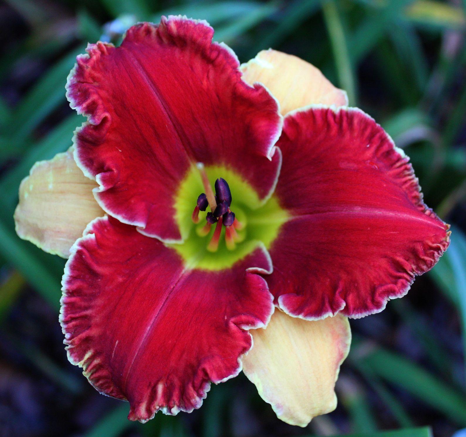 Daylily, Hemerocallis 'Whipped Cream And Strawberries