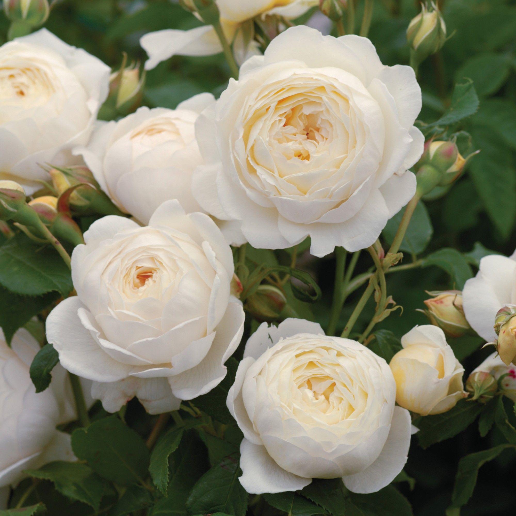 Resultado de imagen de rose claire austin