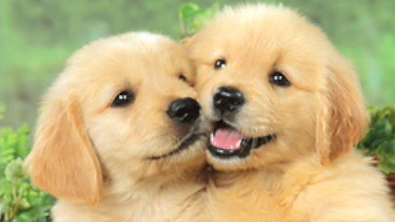 Cute Adorable Puppy Love Poems By Happy Twirl Youtube Puppy Breeds Cute Puppy Breeds Cute Puppies