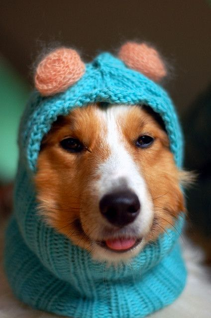 Mali in the Anti-Firework Dog Balaclava   Pets, Knitting, Dogs