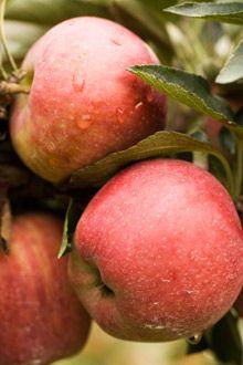Apple mature widths