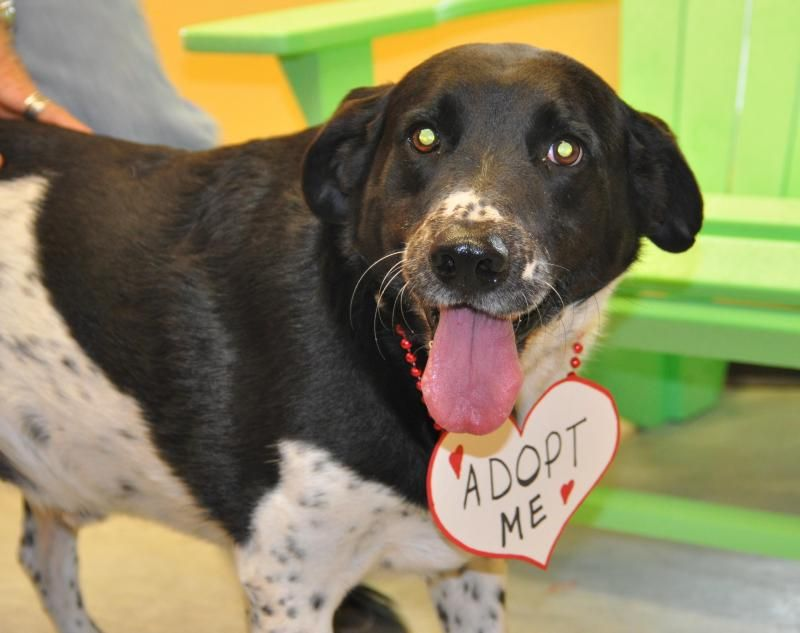 12/19/14 sl~Charlie~ Border Collie & Labrador Retriever Mix • Adult • Male • Large Humane Society and Adoption Center of Rockport-Fulton Fulton, TX