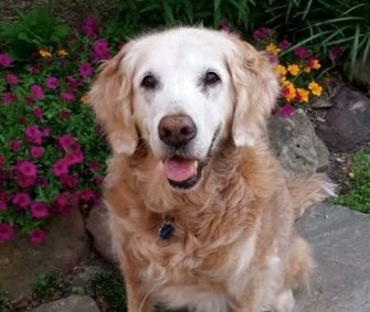 Bretagne A Golden Retriever Who Served As A Search And Rescue Dog