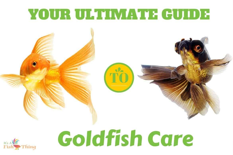 Goldfish Care Sheet Everything You Need To Know On One Page Goldfish Care Goldfish Care