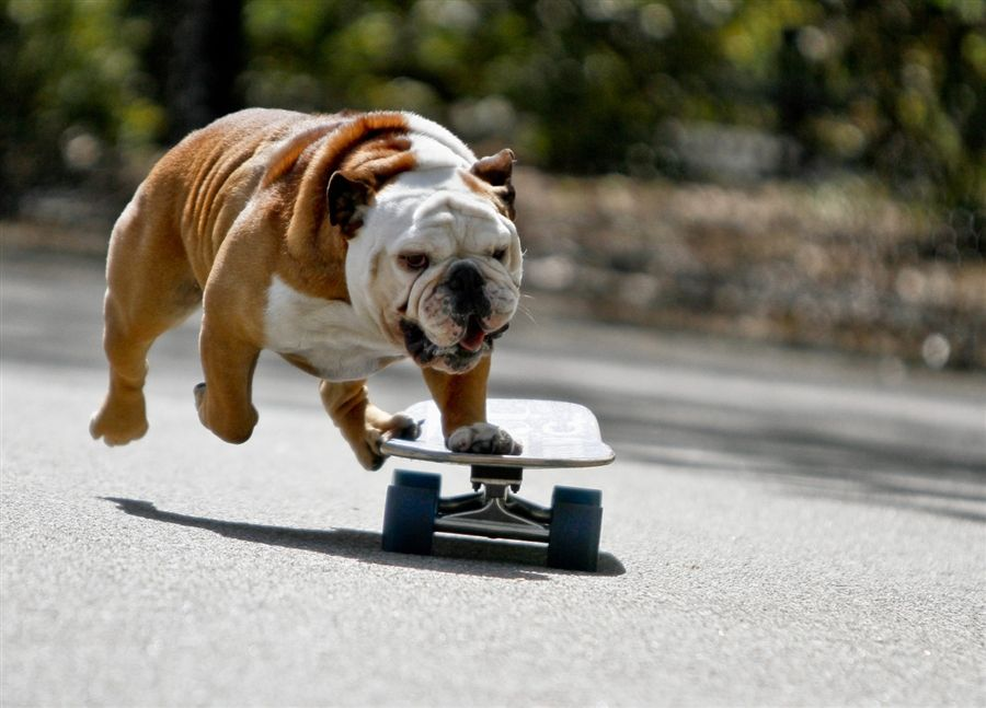 Ready To Fly Bulldogs Pets Dogs Skateboarding Bullies Funny Fun Animals Funny Dog Pictures Bulldog Your Dog