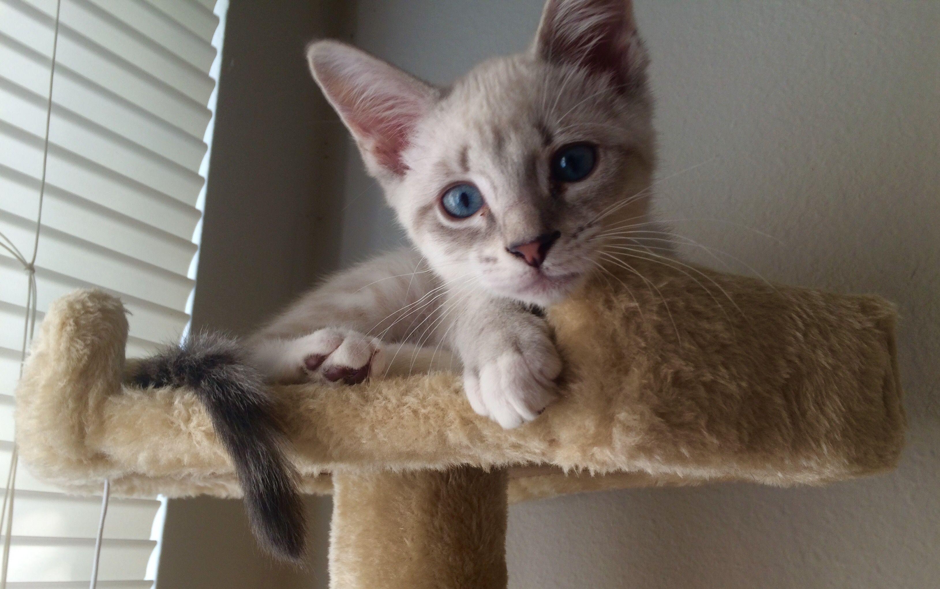 Rare Cat Color Lynx Siamese Cat Colors Rare Cats Cattery