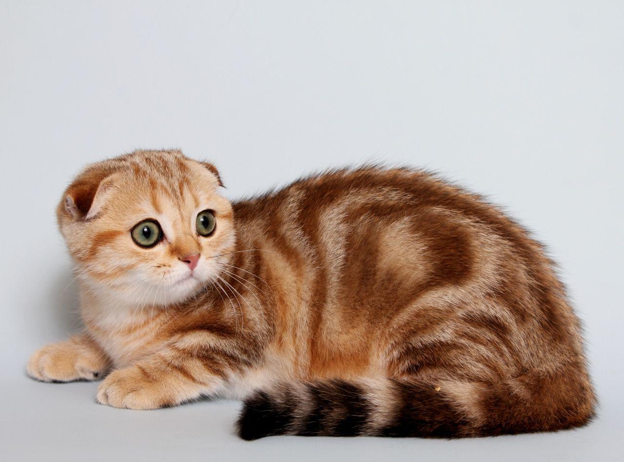 Коты британской вислоухой породы фото