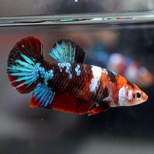 Live Betta Fish Fancy Super Red Koi Halfmoon Plakat Hmpk Female 451 Ebay Betta Fish Tank Betta Fish Betta