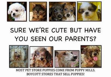 Why You Should Avoid Puppy Mills Pet Store Puppies Puppy Mills Pet Store