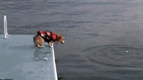 A Corgi In A Life Jacket Epitomizing The Diving Grace Of Its Breed Truly Mesmerizing Funny Dogs Funny Animals Dogs
