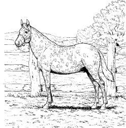 Horse Coloring Page Of Appaloosa