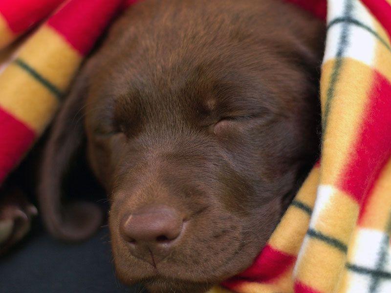 Sleepless In Seattle Labrador retriever, Lab puppies