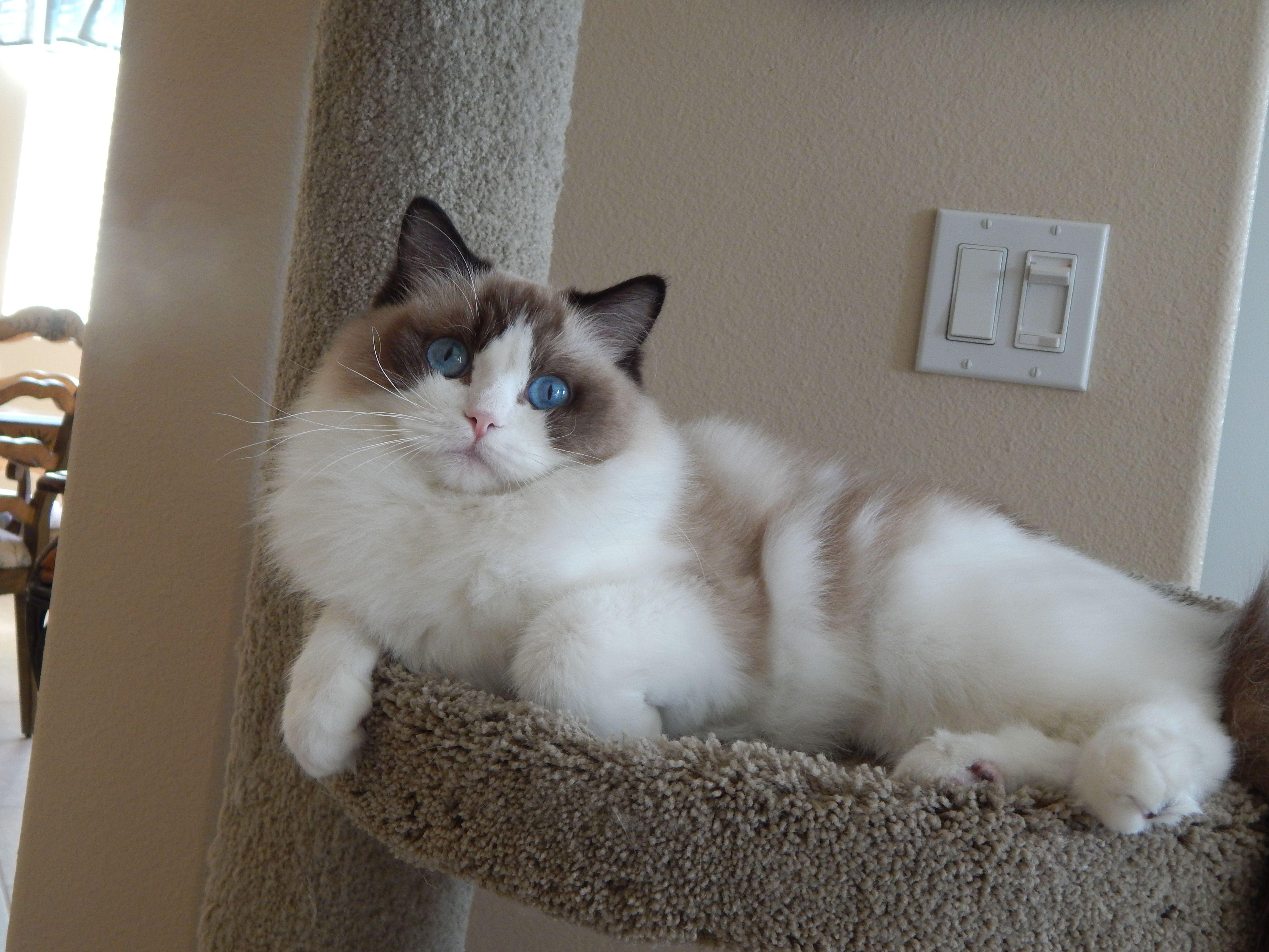 Rgdoll Kittens Cat Breeds Ragdoll Cat Colors Ragdoll Cat