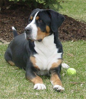 Harry The Greater Swiss Mountain Dog At 2 Years Old Mit Bildern Sennenhund Hunderassen Schweizer Sennenhund