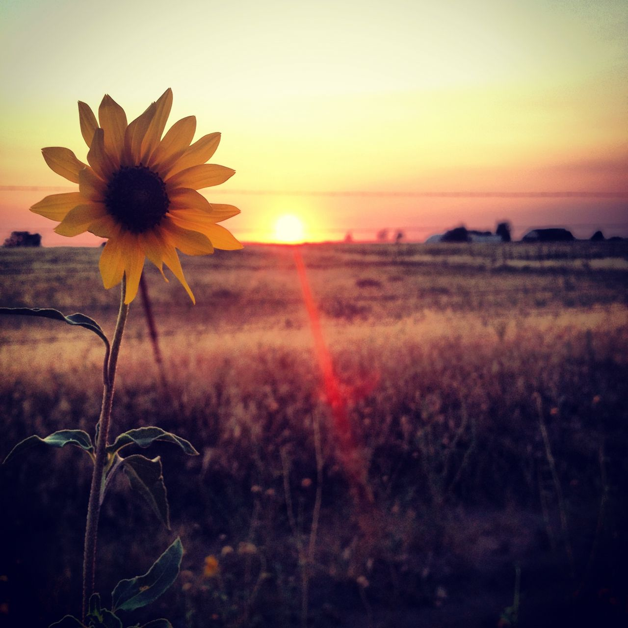 Girassóis Do Sol Tumblr Girassol Sunset Country Sunflowers Por