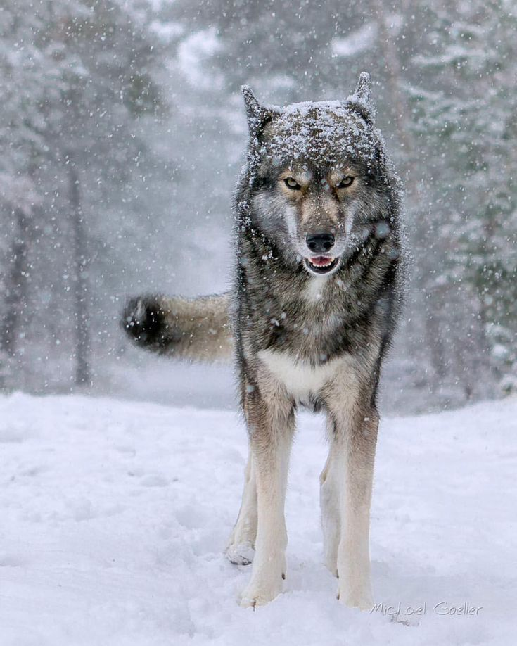 Wolf Watching In Romania Wolf Dog Beautiful Wolves Wolf Photography