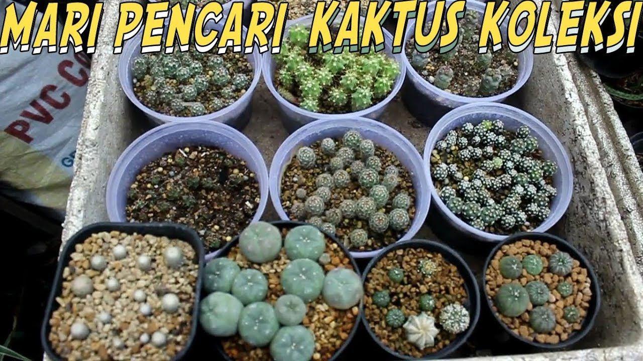Mengenal Kaktus Koleksi Dan Beragam Jenis Gymnocalycium