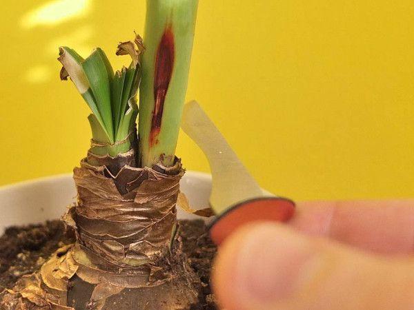 Photo of Amaryllis Pflege abschneiden Blütenstengel