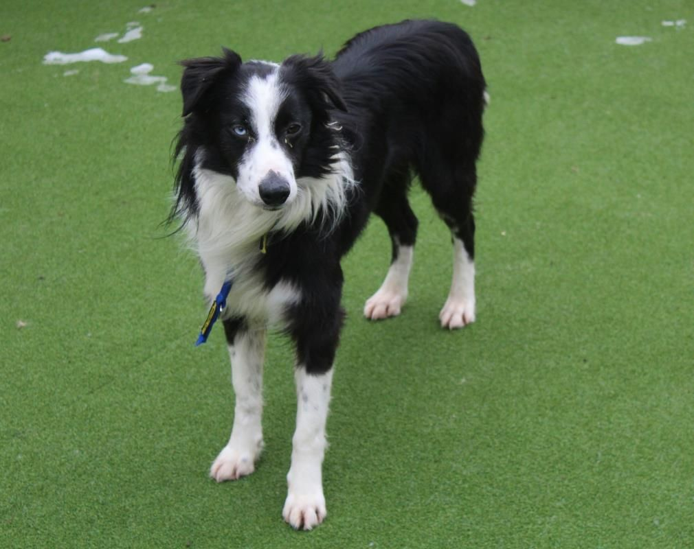 Adopt A Dog Billy Collie Cross Border Dogs Trust Dogs