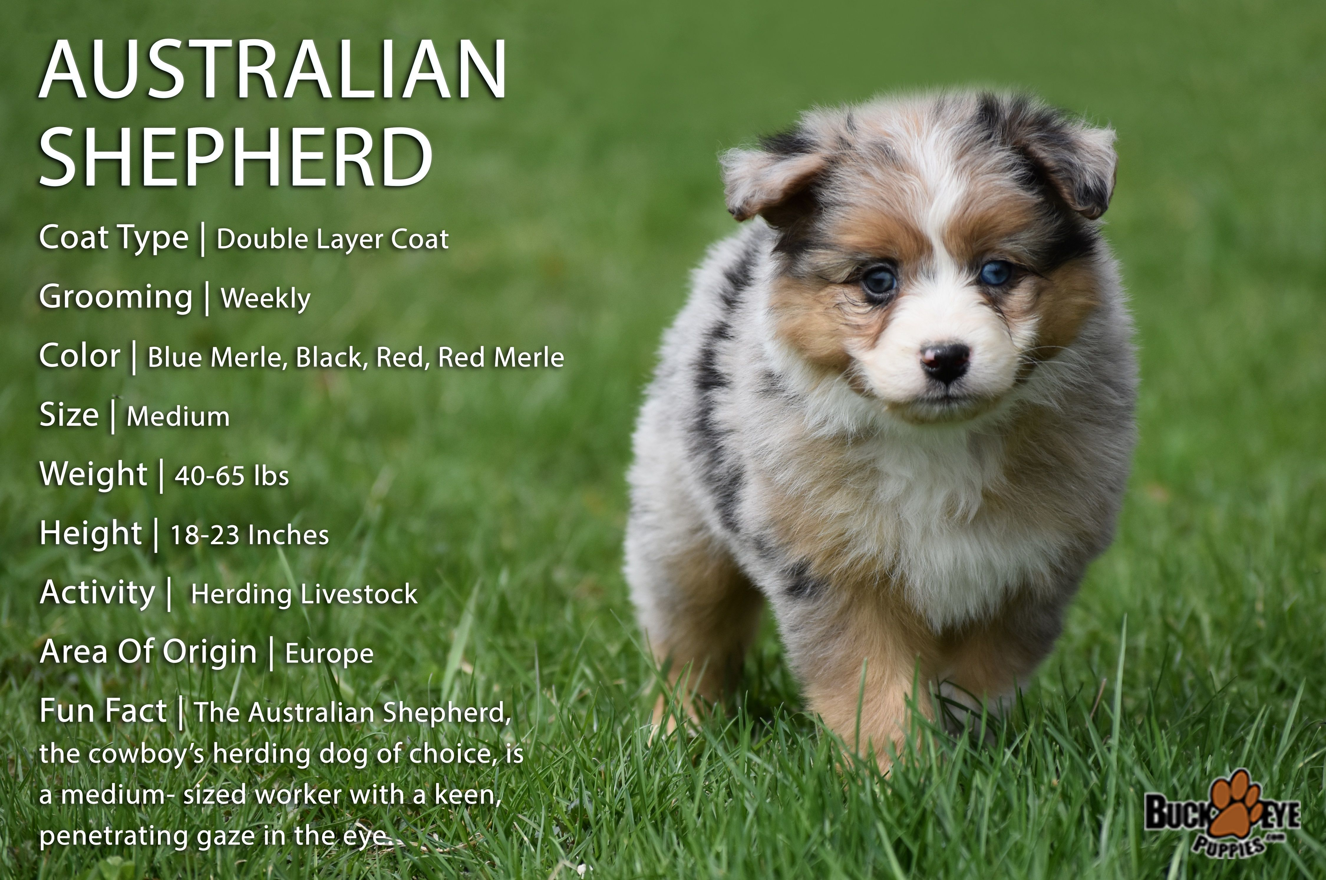 BreedOfTheWeek 💖 From the Blue to the Red Merle and the