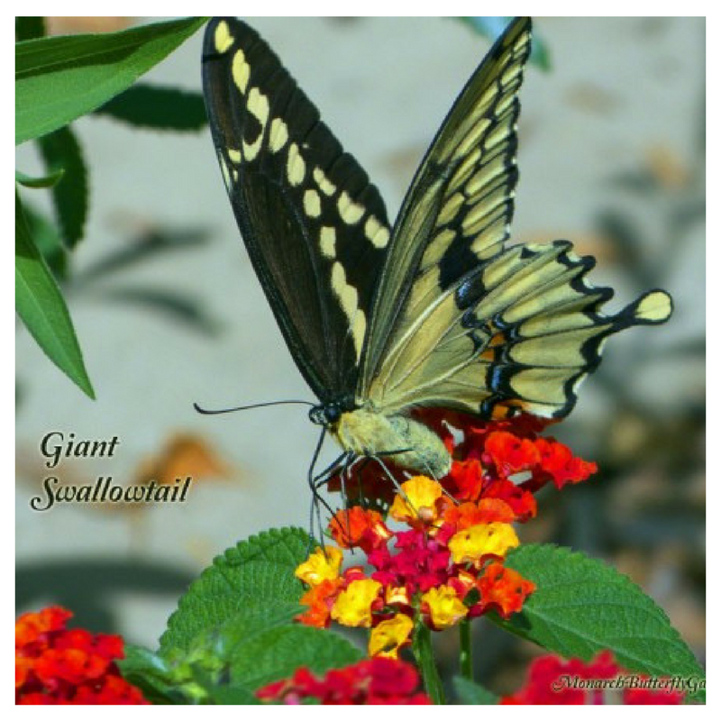 There was a time when seeing a GIANT swallowtail in our