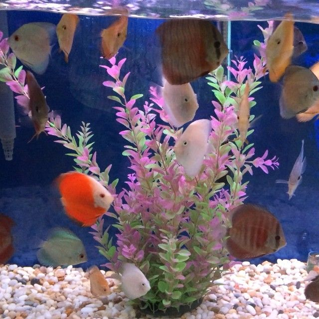 Pin By Pet Zone Tropical Fish San D On Discus Fish Discus Fish Beautiful Fish Fish