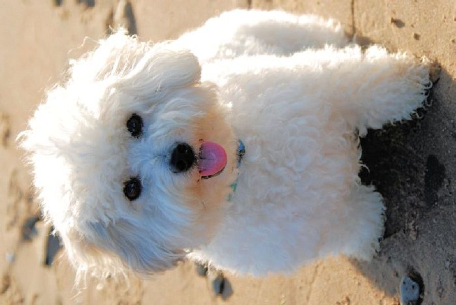 Small White Dog Breeds Fluffy White Dog Breeds Dog Breeds Coton De Tulear